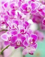 Rosa orquídea macro de cerca en el spa de salud.