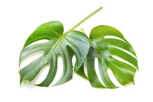 Monstera isolated on white