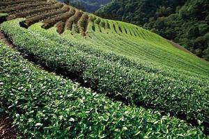 jardín de té foto