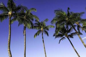 kailua-kona palmbomen