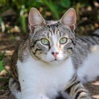 Hermoso gato gris y blanco disfruta del sol del mediodía en el jardín foto