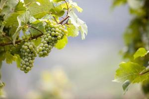 Weintrauben am Weinstock im Moselland