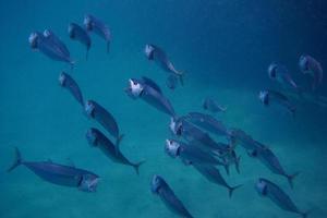 big mouth mackerel