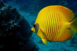 mask butterflyfish close