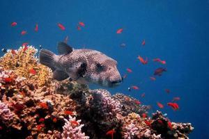 giant blowfish floating