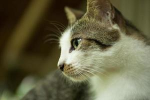 Young white and brown hair cat. photo