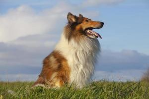 A Rough Collie enjoying outdoors