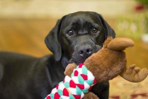 Labrador Retriever Enjoying Her Christmas Toy