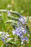 purple flowers in the field photo