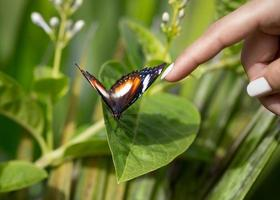 tame butterfly enjoys pampering