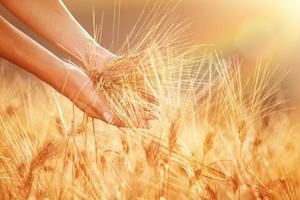disfrutando del campo de trigo dorado foto