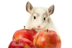 chinchilla with apples photo