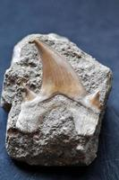 Fossil shark tooth photo