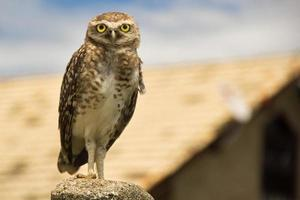 Burrowing owl - Speotyto cunicularia photo