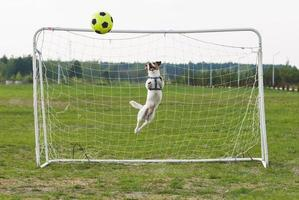 Funny dog playing football as a goalkeeper (curved  jump)