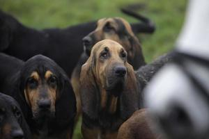 Hounds traditional English fox hunting meeting