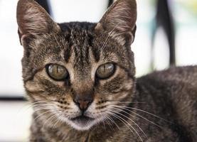 Retrato de gato atigrado