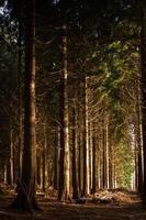 floresta inglesa em herefordshire iluminada pelo sol da tarde.