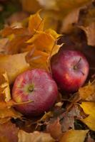 Red apples on autumn leaves. photo