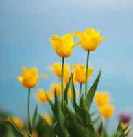 yellow tulips against the sky photo