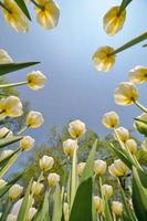 light yellow tulip flowers growing to sky
