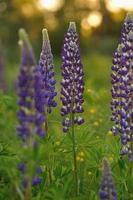 Lupine flowers photo