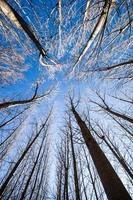 poplars photo