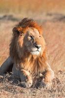león macho en masai mara foto