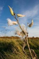 Milkweed plant and seeds photo