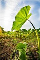 Vista del atardecer en el campo de arroz, detrás de las hojas de taro.