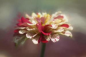 Asteraceae flower Zinnia elegant Peppermint Stick Mix photo