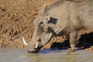 Warthog drinking water photo