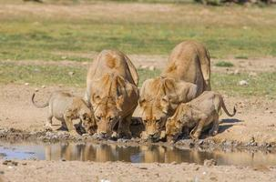 Lionesses, cubs drinking