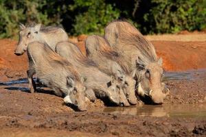 Warthogs drinking water photo