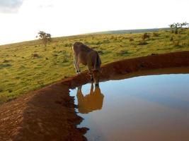 agua potable para ganado foto