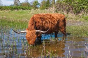 Highland cow drinking water photo