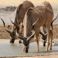 Male greater kudus drinking