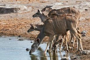 Herd of greater Kudu drinking photo