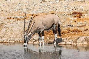 bebiendo gemsbok foto