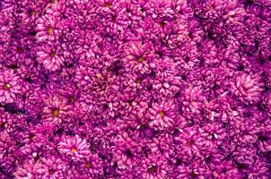 chrysanthemum background