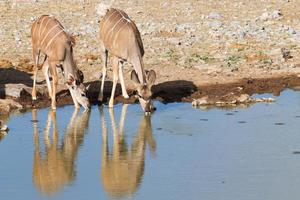 Kudu drinking photo