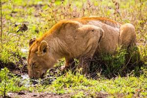 bebiendo leon