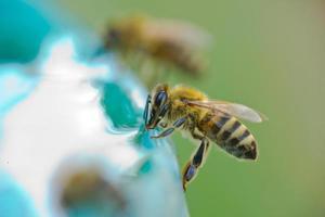 Bee drinking water photo