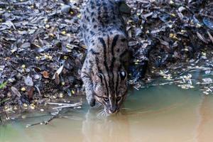 wild cat drinking water