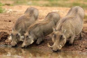 Warzenschwein und ihre Ferkel trinken