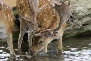 ciervo macho ciervo agua potable foto