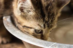 Farm cats drinking raw milk photo