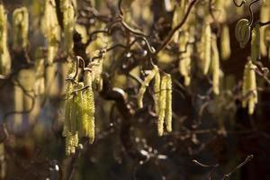 Catkins of the Twisted Hazel shrub. photo