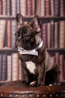 French bulldog puppy with neck bow photo