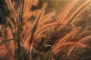 gramíneas selvagens com iluminação de fundo